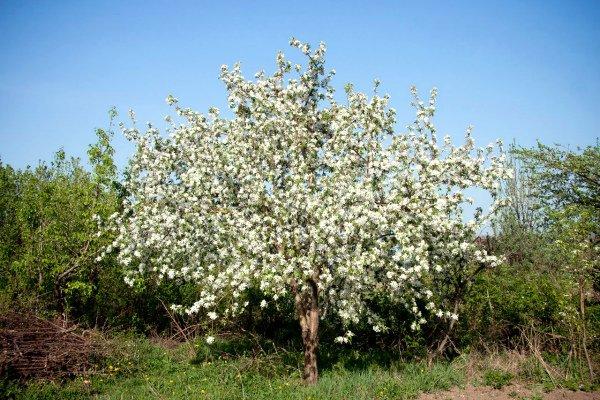 Цветение яблони Звездочка весной