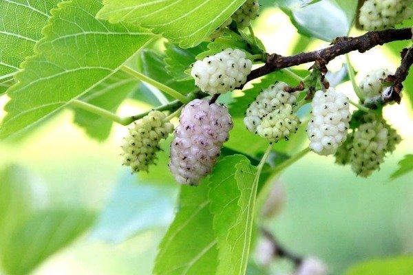 Урожай белой шелковицы на дереве