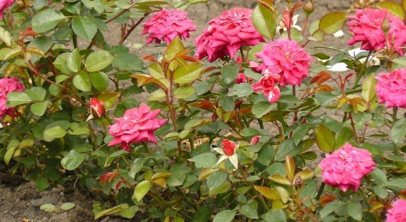 Бордюрная роза в цветнике