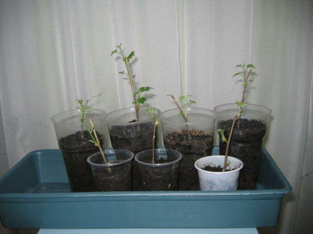 Саженцы шелковицы с хорошо развитой корневой системой