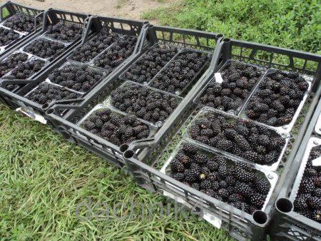 Урожайность ежевики сорта Блэк Мэджик