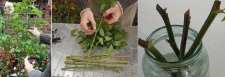 Пошаговая подготовка черенков розы