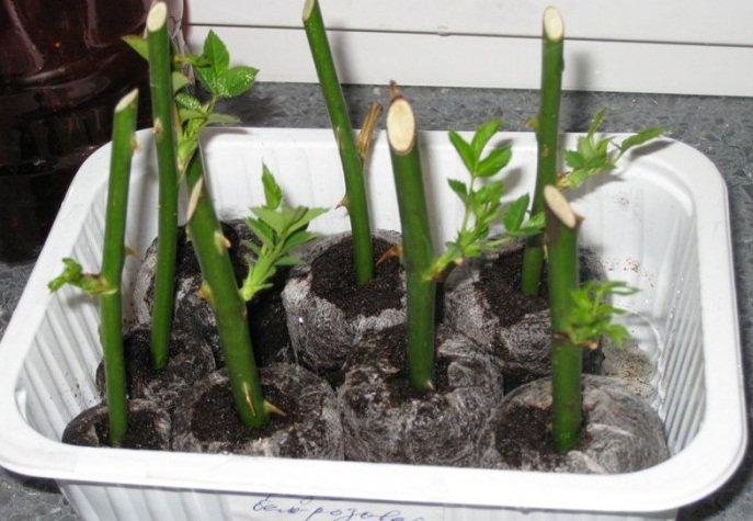 Выращивание черенок в грунте
