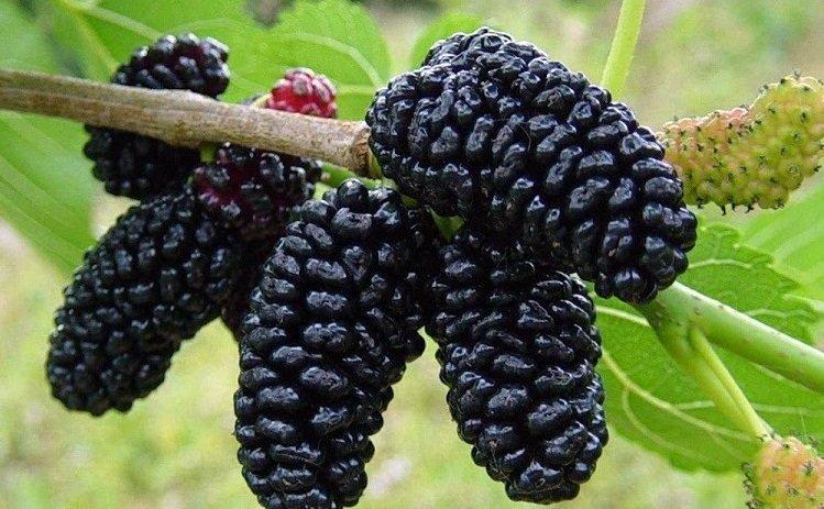 Сорт шелковицы черная баронесса