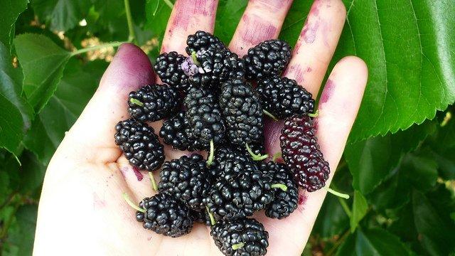 Плоды черной шелковицы на ладони