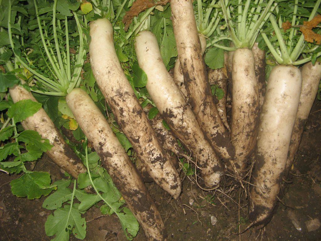 Урожай редьки Дайкон на огороде