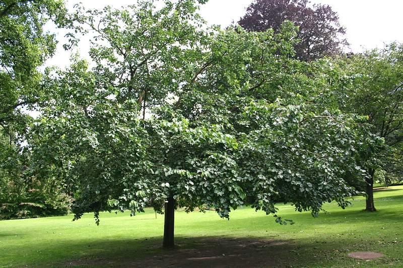 Дерево тутовое, растущее в саду