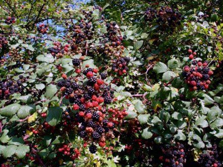 Куст ежевики со спелыми плодами