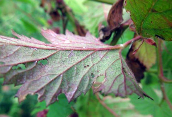 Темно-коричневая кайма – признак нехватки калия
