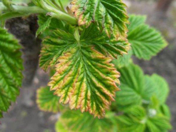 Этот нарядный узор листьев говорит о дефиците железа