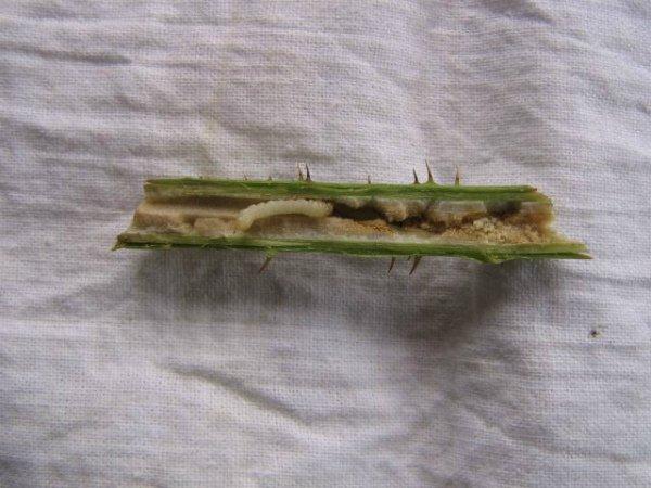 Личинка малиновой моли внутри стебля