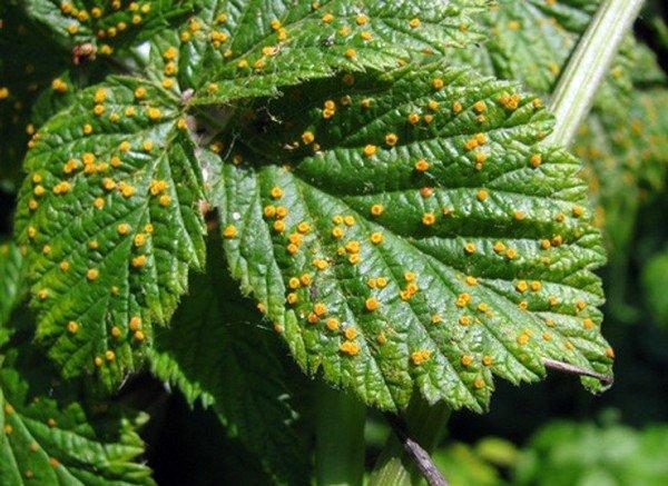 Ржавчина на листьях садовой ежевики