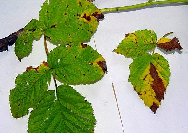 Дидимелла на листовых пластинах ежевики