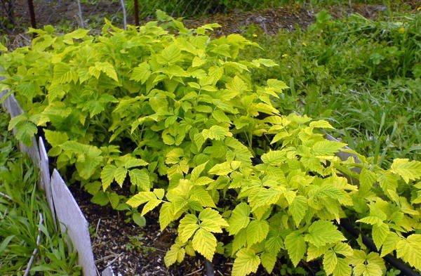Недостаток азота приводит к пожелтению листьев