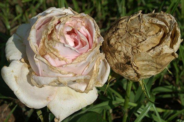 Распространенная болезнь розы