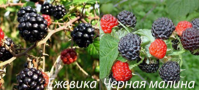 Отличия ежевики и черной малины
