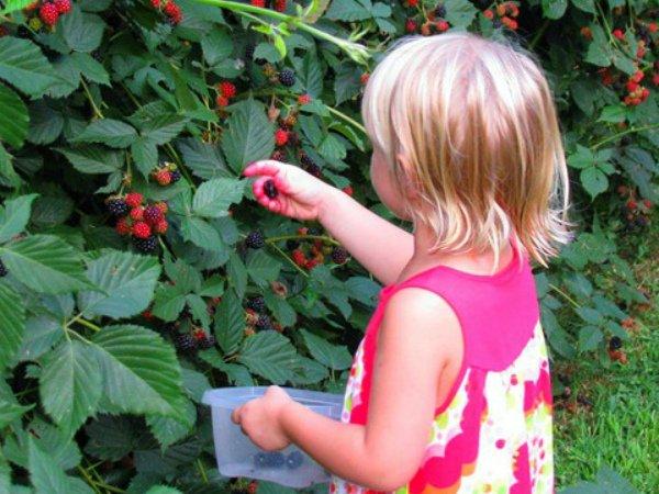 Ребенок собирает ягоды бесшипной ежевики