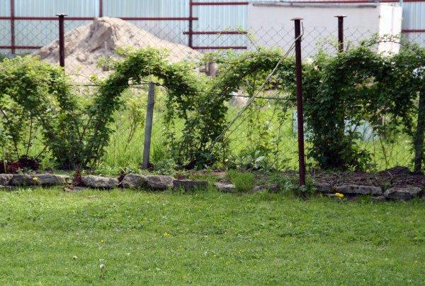 Живописные арки из кустов ежевики