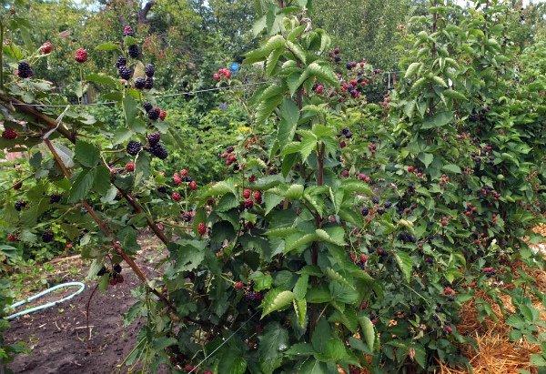Выращивание ежевики Chester Thornless на даче