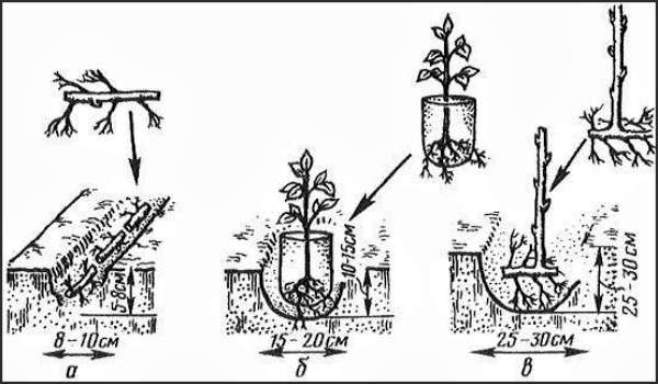 Три способа посадки ежевики