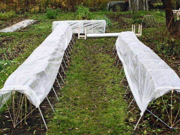 Укрытие ежевичных кустов на зиму