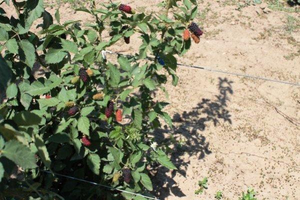Выращивание ежевики Карака Блэк на шпалере