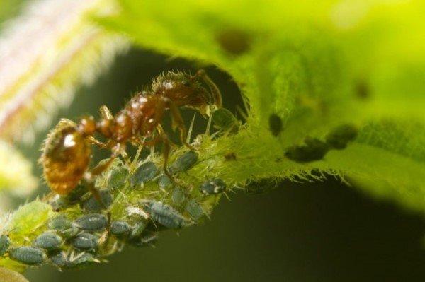 Симбиоз муравьев и малинной побеговой тли на ежевике