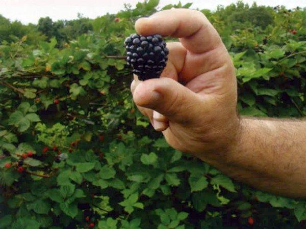 Демонстрация размера ягоды Лохнесс