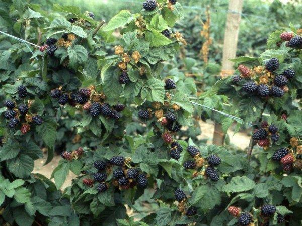 Выращивание ежевики Лохнесс на горизонтальной шпалере