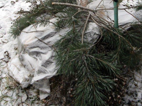 Укрытие ежевики агроволокном и сосновыми ветвями