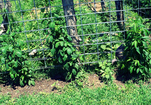 Выращивание молодой ежевики на шпалере
