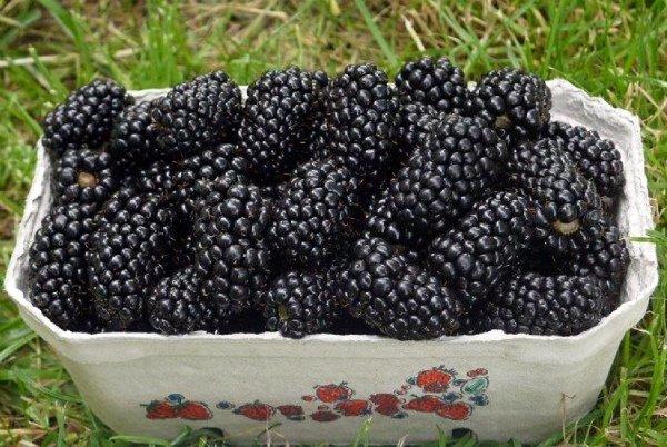 Собранный урожай ежевики Натчез на даче
