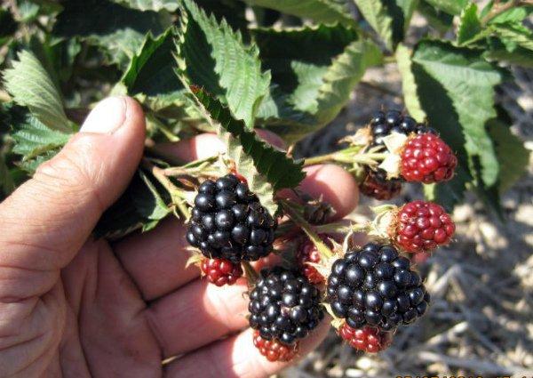 Плоды ежевичного гибрида Навахо
