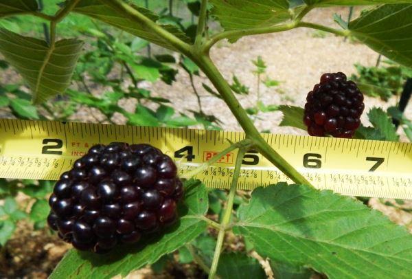 Измерение размера ягоды ежевики Прайм Арк Фридом