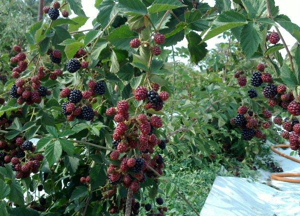 Высокоурожайный сорт ежевики Рубен
