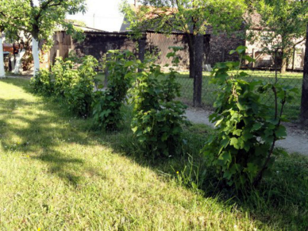Выращивание ежемалины Tayberry на участке