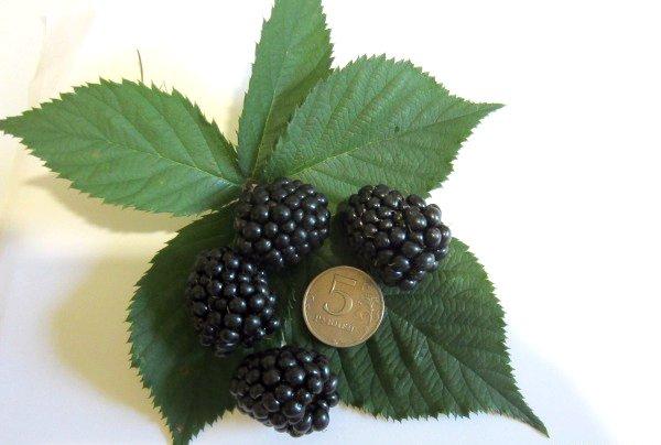 Сравнение размера ягод ежевики Торнфри с монеткой