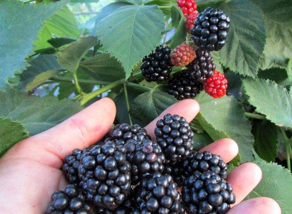 Урожай ягод ежевики Халл Торнлесс