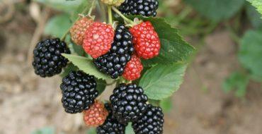 Ветка Трипл Краун с плодами
