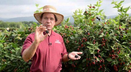 Огородник показывает спелые плоды ежевики