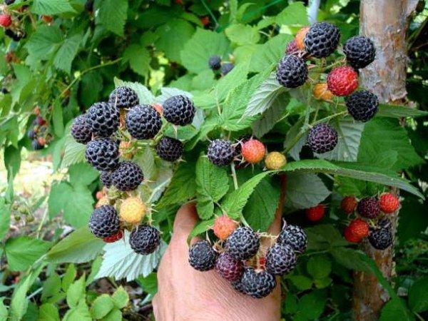 Выращивание ежемалины сорта Кумберленд