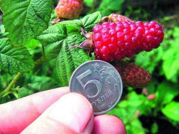 Сравнение ягоды ежемалины с монетой