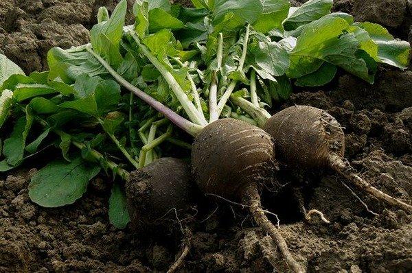Урожай черной редьки на грядке