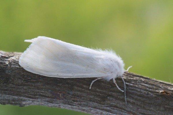 Белая американская бабочка на ветке шелковицы