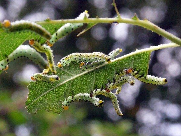 Вредитель розы - гусеницы пилильщика