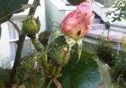 Вредитель розы - тля розанная