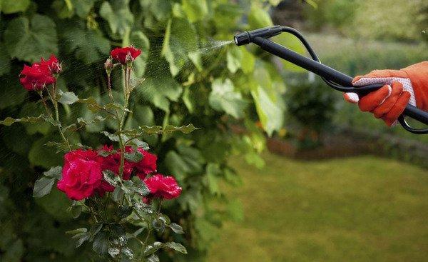 Опрыскивание розы в саду