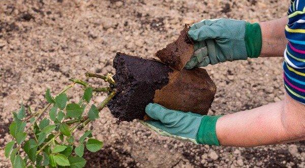 Процесс посадки черенка розы в землю