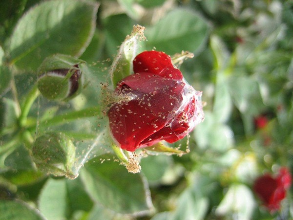 Вредитель розы - паутинный клещ