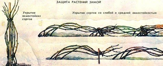 Способы укрытия ежевики на зиму